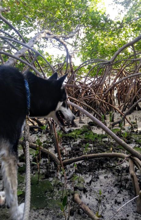 Adakias mangroves