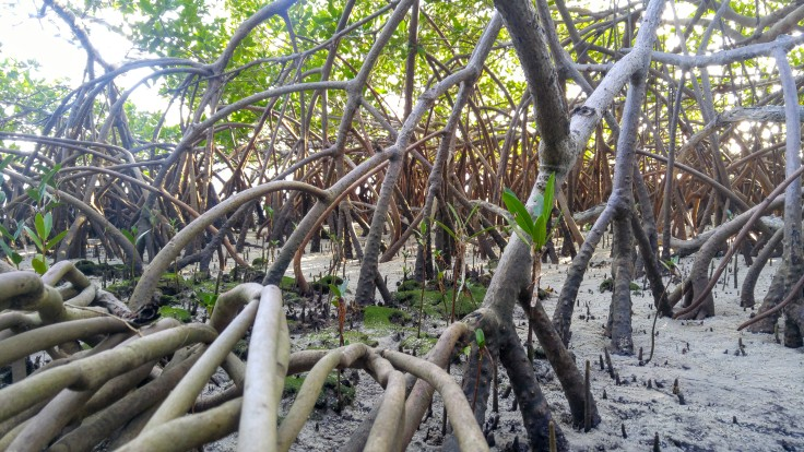 mangrove roots